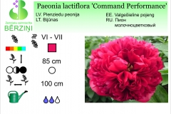 Paeonia lactiflora Command Performance
