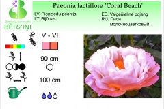 Paeonia lactiflora Coral Beach
