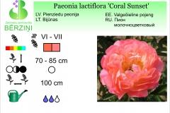 Paeonia lactiflora Coral Sunset