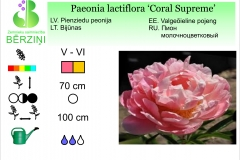Paeonia lactiflora Coral Supreme