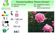 Paeonia lactiflora Darius Girenas