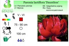 Paeonia lactiflora Dauntless
