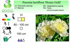Paeonia lactiflora Honey Gold
