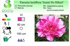 Paeonia lactiflora Izumi No Hikari
