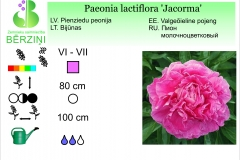 Paeonia lactiflora Jacorma