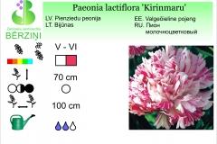 Paeonia lactiflora Kirinmaru