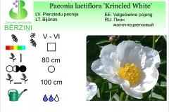 Paeonia lactiflora Krincled White