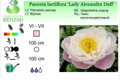 Paeonia lactiflora Lady Alexandra Duff
