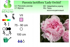 Paeonia lactiflora Lady Orchid