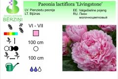 Paeonia lactiflora Livingstone
