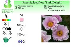 Paeonia lactiflora Pink Delight