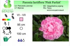 Paeonia lactiflora Pink Parfait