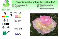 Paeonia lactiflora Raspberry Sunday
