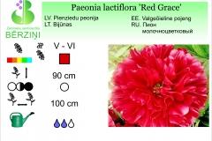 Paeonia lactiflora Red Grace