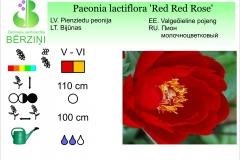Paeonia lactiflora Red Red Rose