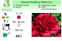 Paeonia lactiflora Ruth Clay