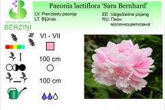 Paeonia lactiflora Sara Bernhard
