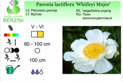 Paeonia lactiflora Whitleyi Major