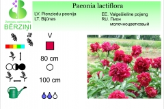 Paeonia lactiflora sarkana