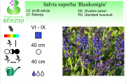 Salvia superba Blaukonigin