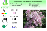 Saponaria officinalis Rosea Plena