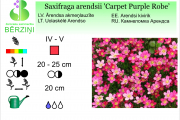 Saxifraga arendsii Carpet Purple Robe