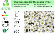 Saxifraga arendsii Highlander White