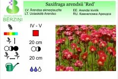 Saxifraga arendsii Red