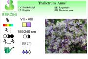 Thalictrum Anne