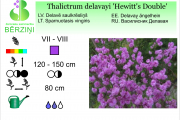 Thalictrum delavayi Hewitt's Double