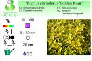 Thymus citriodorus Golden Dwarf