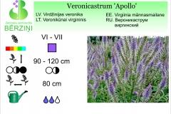 Veronicastrum Apollo