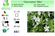 Vinca minor Alba
