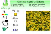 Rudbeckia fulgida Goldsturm